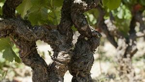 Gros plan sur des pieds de vigne